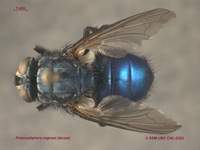 EntoPrint_Protocalliphora_2