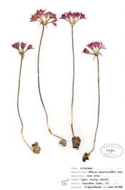 HerbariumPrintAacuminatum_7