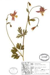 HerbariumPrintAformosa_5