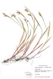 HerbariumPrintBmaxima_23
