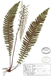 HerbariumPrintBspicant_2