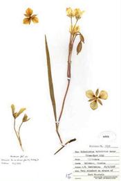 HerbariumPrintCapiculatus_6