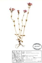 HerbariumPrintCerythraea_11