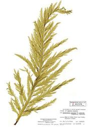 HerbariumPrintDligulata_14