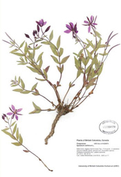 HerbariumPrintElatifolium_12
