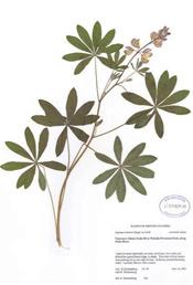 HerbariumPrintLrivularis_10