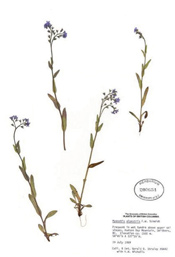 HerbariumPrintMalpestris_18