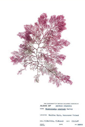 HerbariumPrintMcoulteri_15