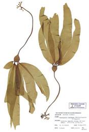 HerbariumPrintNluetkeana_13