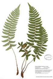 HerbariumPrintPmunitum_20