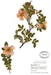 HerbariumPrintRnutkana_8
