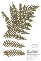 HerbariumPrintWfimbriata_24