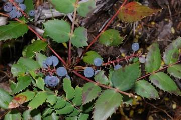 Flickr_-_brewbooks_-_Oregon_grape_Berberis_nervosa