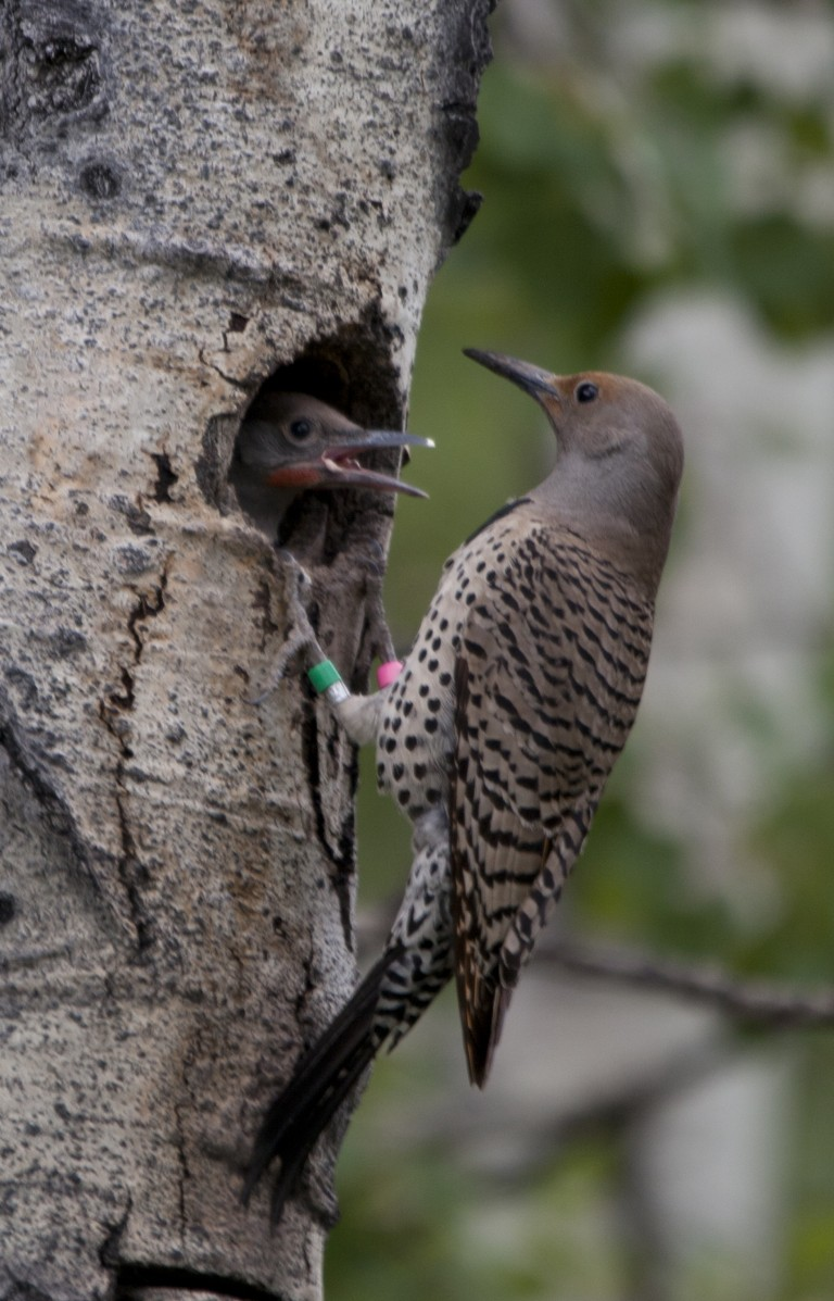 Female at cavity. A female northern flicker feeds her young at the cavity. Old flicker nestlings climb up the inside of the cavity to the cavity entrance to be fed by the parents. Photo by Elizabeth Gow.
