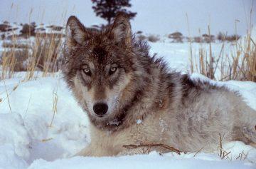 800px-Yellowstone-wolf-17120