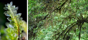 (Left to right) Acrophyllum magellanicum and Weymouthia cochlearifolia. Photos: Felipe Osorio