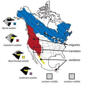 This map from Toews, et al shows the breeding ranges, migratory behaviour and distribution of mitochondrial DNA (mtDNA) in four groups of yellow-rumped warblers. New data from Toews and colleagues demonstrates that the area where there is a transition in mtDNA is also home to a shift in migratory behaviour, from residents to migrants.