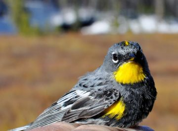 An Audubon's warbler.