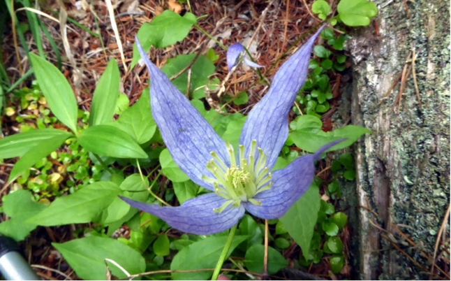 Botany5_ChurnCreek_BlueClematis