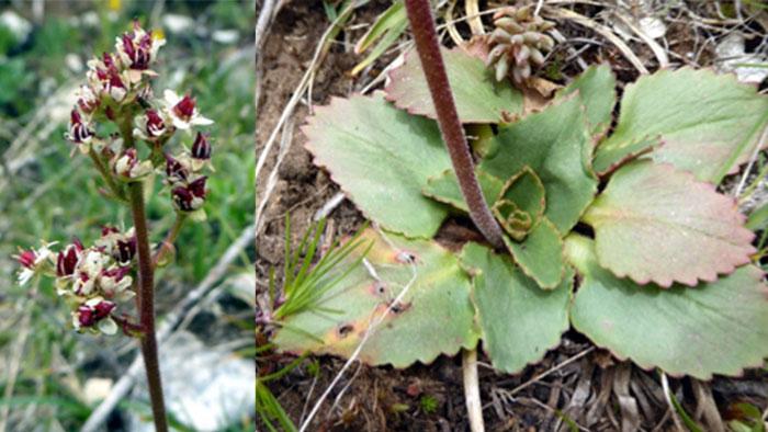 Saxifraga occidentalis, western Saxifrage