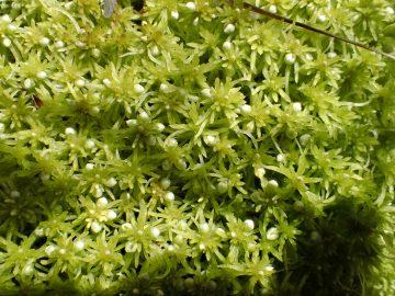 Sphagnum subnitens, wetland   Photo by Wynne Miles