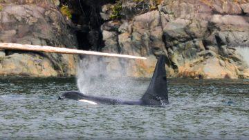 A bull killer whale surfaces for air in the Johnstone Strait.