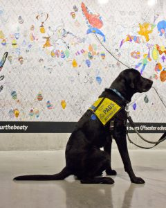 A PADS assistance dog sits patiently in the Beaty Museum. In the background you can see a past art exhibition.