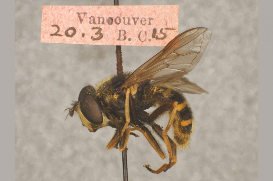 A syrphid fly (with yellow and black stripes) is on a pin with a collections label.