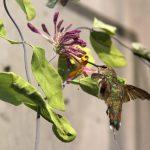 A hummingbird specimen mounted on a dried honeysuckle