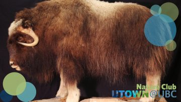 Musk Ox; Ovibos moschatus; a taxidermy mount of an adult musk ox