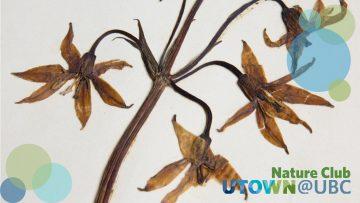 Tiger lily; Lilium columbianum; four dried pressed blossoms on a stem