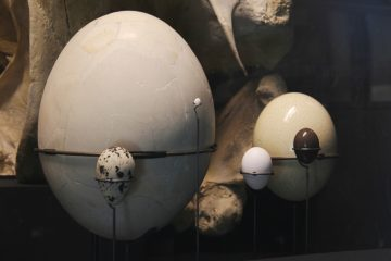 A museum display showing a hummingbird egg (smallest), chicken (small white), tinamou (shiny brown), a speckled oval egg, ostrich egg, and elephant bird egg (largest)